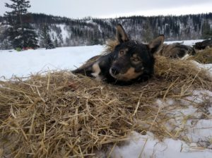 Sled dog bedding down in straw for warmth.